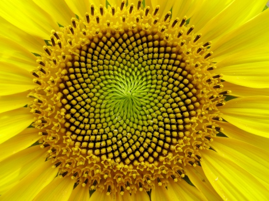 sunflower super spiral.jpg
